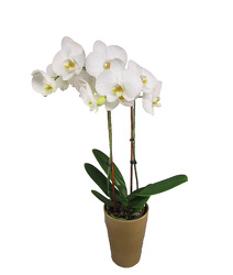 Phalaenopsis Orchid Planter from Parkway Florist in Pittsburgh PA