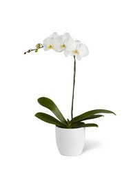 The FTD White Orchid Planter from Parkway Florist in Pittsburg PA