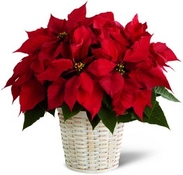 The FTD Red Poinsettia Basket from Parkway Florist in Pittsburgh PA