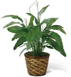 The Spathiphyllum (Peace Lily) Plant from Parkway Florist in Pittsburgh PA