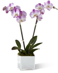 The FTD Pink Orchid Planter from Parkway Florist in Pittsburg PA
