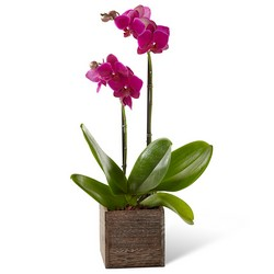 The FTD Fuchsia Phalaenopsis Orchid from Parkway Florist in Pittsburg PA